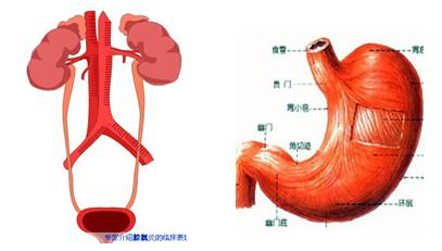 人体解剖学是研究形态结构的科学