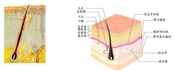 皮肤的解剖结构图片